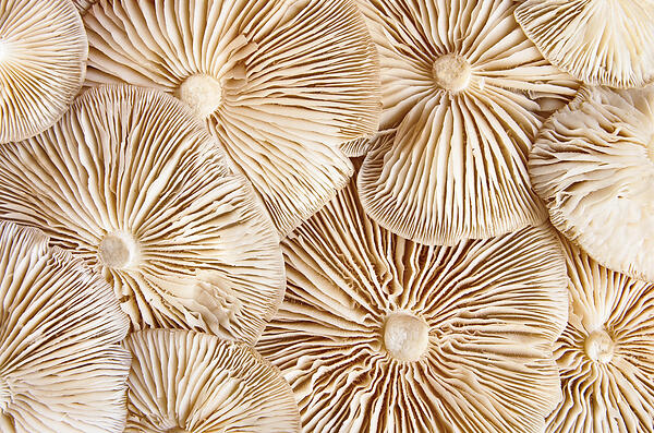 Close-up view of theunderside of pile clitocybe mushrooms_shutterstock