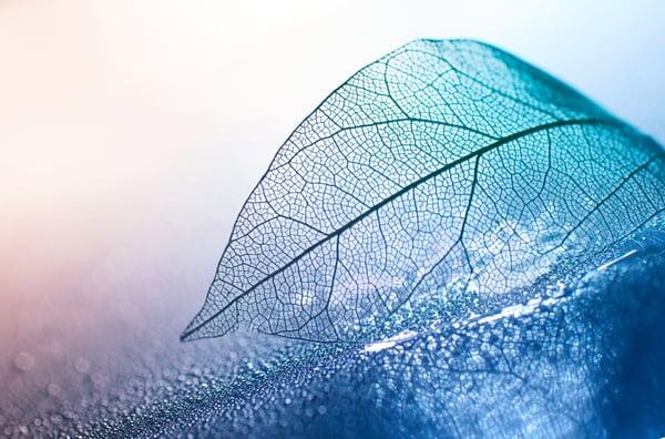 Transparent skeleton leaf
